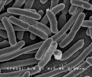 La bactérie Escherichia Coli